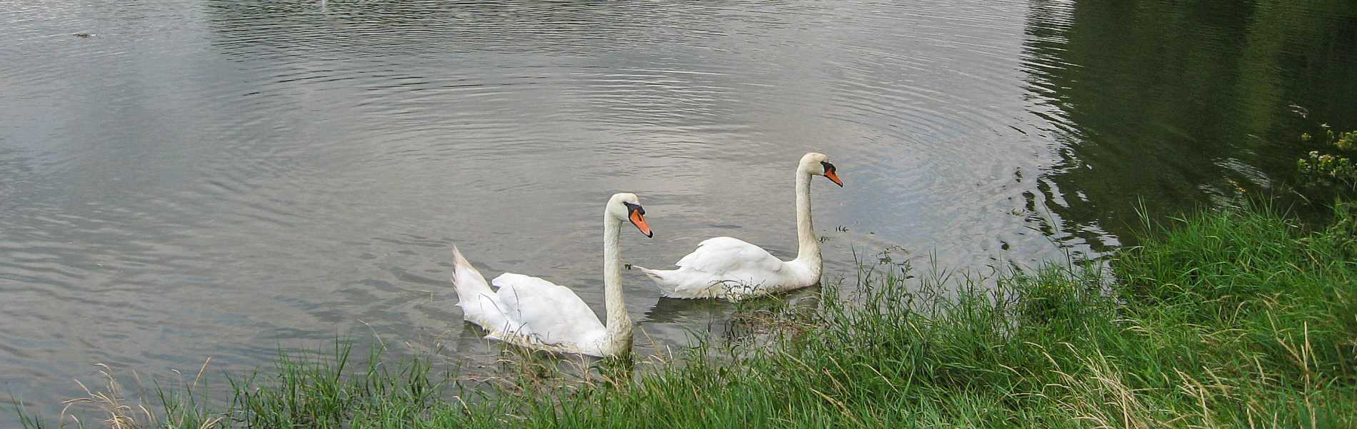 Swans on Dinham Creek